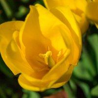 Жёлтые тюльпаны... ооо... =) :: Алексей Гончаров