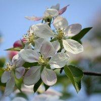 Лучше нету того цвету , когда яблони цветут... :: Ирина Подольская
