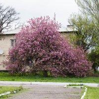 Цветущее дерево. :: Сергей Касимов