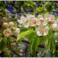 Яблоня в цвету :: OKCAHA Валова