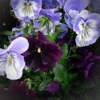 Не жалела  Весна яркой краски, Наряжая Анютины глазки! :: Galina Dzubina