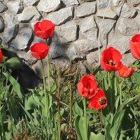 тюльпаны :: Наталья Золотых-Сибирская
