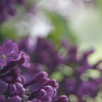 lilac :: Юлия Быкова