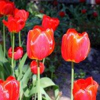 А цветущая весна дарит нам тюльпаны ! :: Валентина ツ ღ✿ღ