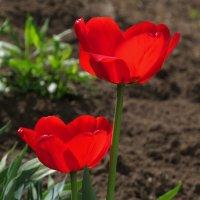 красные тюльпаны :: Сергей Цветков