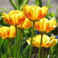 сквозь тюльпаны солнце :: Сергей Цветков