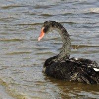 Черных перьев блестящий атлас... :: Ната Волга