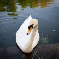 лебедь :: Астарта Драгнил