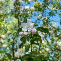 Яблоня в цвету :: Павел Шалаев