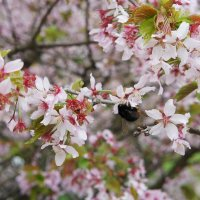 Курильская сакура (один из видов японской сакуры) :: Елена Павлова (Смолова)