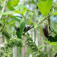 Пожиратели листьев (1) :: Владимир Нев
