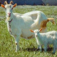 Коза с козленком :: -somov -