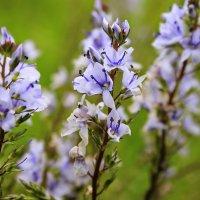 Полевые цветочки :: Nataliya Oleinik