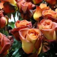 розы в каждый дом :: Олег Лукьянов