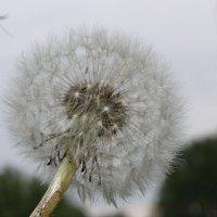 Маленькие солнышки стали белоснежными, легкими, воздушными  шариками нежными. :: Валентина ツ ღ✿ღ