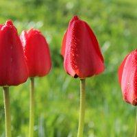 Красные тюльпаны :: Mariya laimite