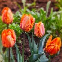 Тюльпаны в саду. :: Татьяна Калинкина