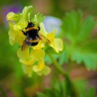 Собирает пыльцу :: Никита Живаев