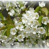 Цветы черешни :: Вера