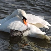 Лебединые будни :: Ната Волга