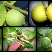 лимон .....рос....и вырос... :: Lilek Pogorelova