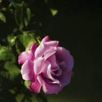 Розы бывают разные... :: Лариса Н