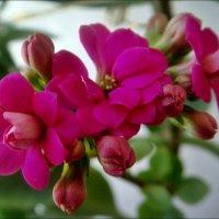 Обычный цветок - каланхоэ :: Нина Корешкова