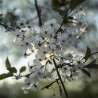 цвет вишни5 :: Василий Шестопалов