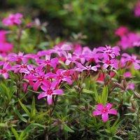 цветы в моем саду :: Алена Карташова