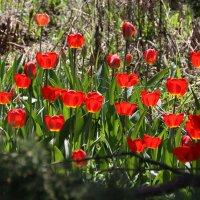 Тюльпановый май :: Алексей Дмитриев