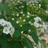 Начало цветения спиреи :: Нина Корешкова