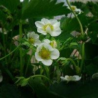 Цветет садовая клубника. Неяркий беленький цветок. :: Galina Dzubina