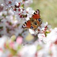 Вишневые бабочки :: Евгения Антипова