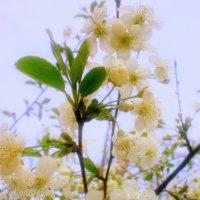 Нежность весны :: Ирина Князева