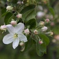 и вновь цветение :: Эльмира Суворова