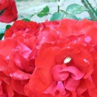 Улитка и роза :: Герович Лилия