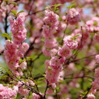 Сакура в цвету :: НАТАЛИ natali-t8