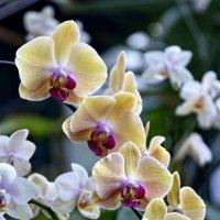 Орхидеи :: Сергей Сёмин