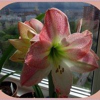 Hippeastrum Sweet Pink :: Вера