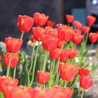 Тюльпаны :: Ptica Ptica