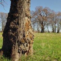 Старое дерево :: Валерий Талашов