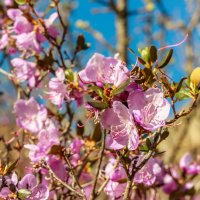 Цветы маральника :: Денис Соломахин
