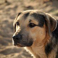 Он грусть свою собачью прячет в разрезе умных добрых глаз. :: Лена Арефьева