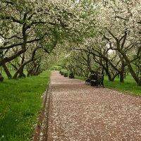 Когда яблони в цвету :: Алексей Соминский