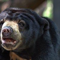 Я - малайский медведь. :: Евгений Печенин