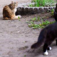 Из жизни дворовых кошек :: Валерий Кабаков