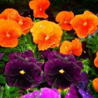Весенний дождик...Не жалела  Весна яркой краски, Наряжая Анютины глазки! :: Galina Dzubina