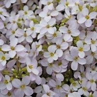 Резуха Арендса - мягкий ковер из белых цветов :: Елена Павлова (Смолова)