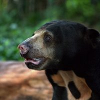 Солнечный медведь :: Евгений Печенин