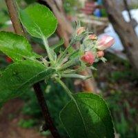 Зацветает яблонька. :: bemam *
